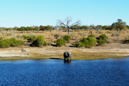 chobe national park: African elephant walks through the waters of Chobe river in the  Serondela area of Chobe National Park, Botswana, Africa.