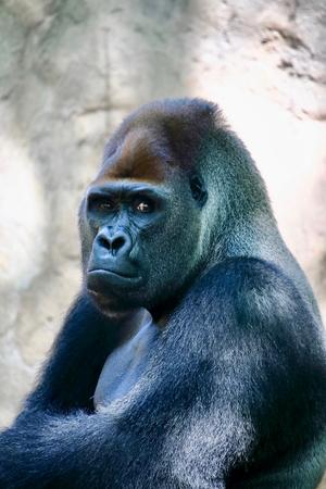 Retrato de un enorme gorila de espalda plateada. Este asombroso primate solo se puede encontrar en Ruanda y Uganda, reservas naturales nacionales. Foto de archivo