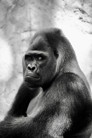 Retrato de un enorme gorila de espalda plateada. Este asombroso primate solo se puede encontrar en Ruanda y Uganda, reservas naturales nacionales.