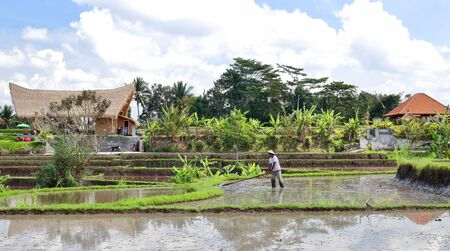 A lonely farmer working on the rice paddies close to Campuhan ridge walk. Thousands of tourists visit these terraces every single day of the year, Ubud, Bali. Stok Fotoğraf