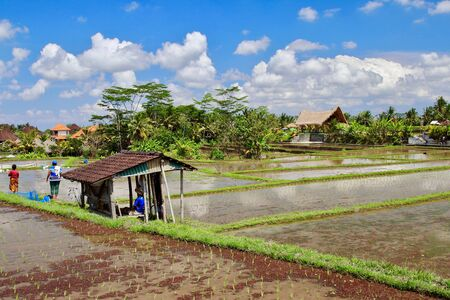 A few farmers working on the rice paddies close to Campuhan ridge walk. Thousands of tourists visit these terraces every single day of the year, Ubud, Bali.