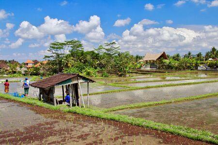 Algunos agricultores que trabajan en los arrozales cercanos a Campuhan Ridge caminan. Miles de turistas visitan estas terrazas todos los días del año, Ubud, Bali.