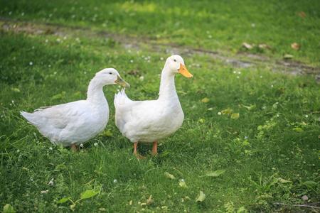 toilet: Two white ducks in the park
