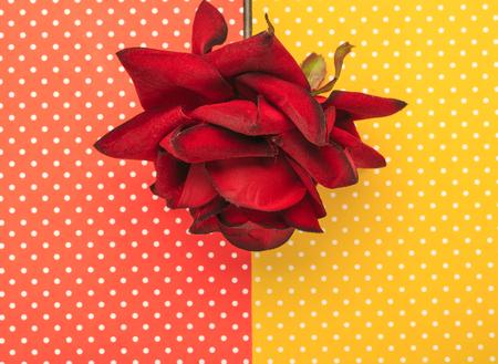 장미 꽃 색깔 배경