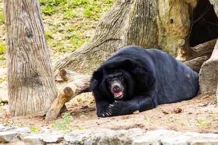 asiatic blackbear Stock Photo