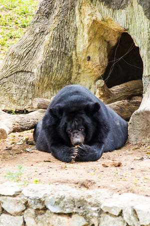 similar images preview: asiatic blackbear Stock Photo