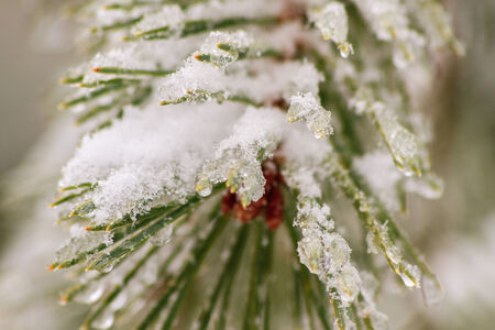 Green spruce with snow
