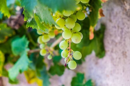 Bunch white grapes hanging from lush green vine