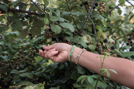 A woman picking fresh blackberries in a garden Stock Photo