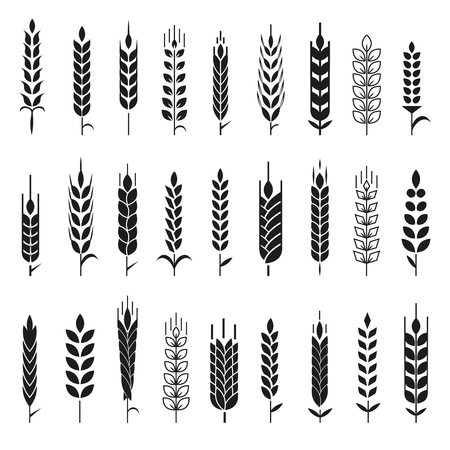 cebada: Las orejas de trigo Iconos y SET. Para el estilo de Identidad Natural Product Company y la empresa agrícola. trigo orgánico, la agricultura pan y natural comen. Lineas de contorno. Diseño plano. Imagen realista. Vectores