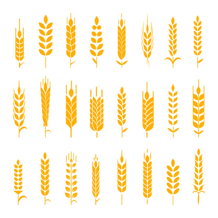 produits céréaliers: Wheat ear symbols for design. Concept for organic products label, harvest and farming, grain, bakery, healthy food. Illustration