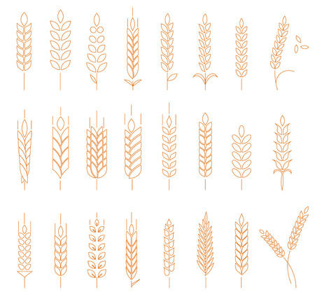 grains: Wheat, rye and barley isolated on white background. Line style template with wheat. Easy to use business template.
