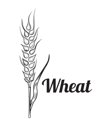 Wheat bread ears cereal crop sketch hand drawn vector illustration.