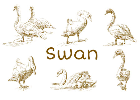 Hand draw, doodle graphic with birds. Vector illustration with swans isolated on white background. Set of animals. Nature objects. Vintage Engraving. Иллюстрация