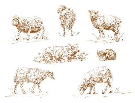 vector illustration of engraving three sheep on white background. Cattle, farm cloven-hoofed livestock animal. Sketch cartoon style.