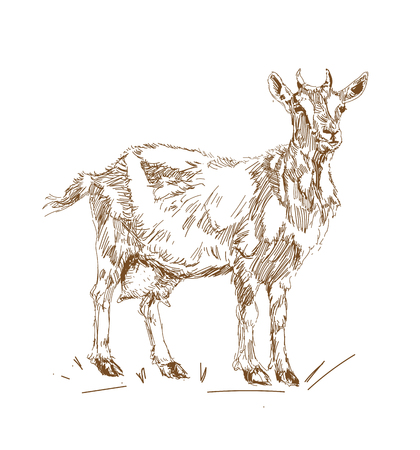 illustration in vintage style Goats in standing pose. Иллюстрация