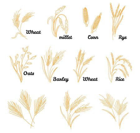 Cereals icon set with rice. Hand drawn illustration wheat, rye, oats, barley, in vintage style.