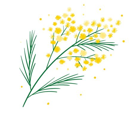 Yellow mimosa flower branch symbol of spring isolated on white. Bundle of parts of gorgeous spring flowering plant. Elegant floral decorations. Vector illustration.