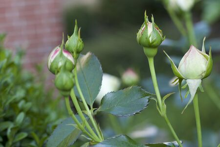 Rosebuds from your own garden from the side Banque d'images - 133519767