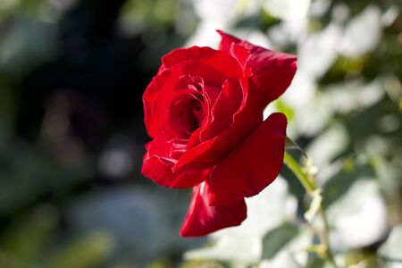 Red rose from your own garden Banque d'images - 133519737