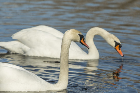 Mute swan, Cygnus olor, swimming in the lake. Stock Photo