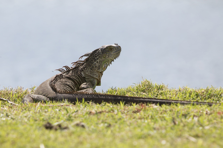 Iguana in the meadow. View from behind. Florida.