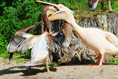 Pelicans are a large water birds. Two pelican fighting for food.