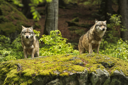 Two wolves on a rocky plateau lie in wait for prey, Canis lupus, wolf, CZECH REPUBLIC. Stock Photo