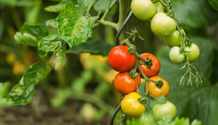 detoxification: Green and red fresh tomatoes on the bush with raindrops. Agriculture concept. The concept of a diet program. Detoxification concept
