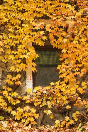 liana: Wall of an old house covered with autumn colorful foliage of liana