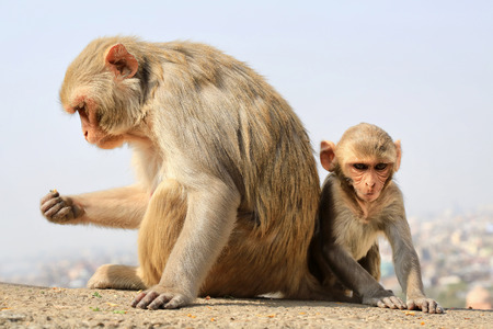 India, Rajasthan, Jaipur, indian monkeys with baby taken in Galata