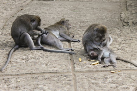 omnivores: Macaque monkeys grooming each other