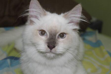 himalayan: White himalayan cat portrait Stock Photo