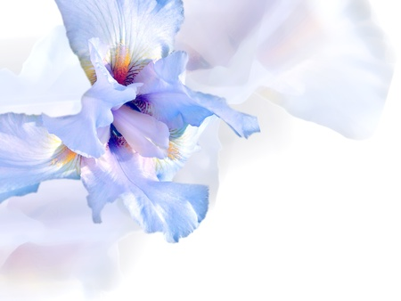 purple iris: White flower background.  Stock Photo