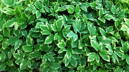 Green leaves wall  photo