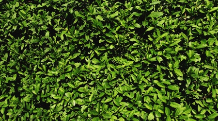 Green leaves wall texture  A fully covered wall