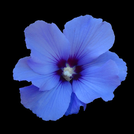 Blue hibiskus flower,  isolated on black background. Without a shadow. Suitable for designers. Фото со стока