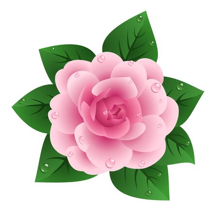 camellia: Vector illustration of pink camellia   Illustration