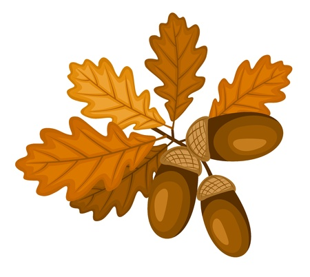 Oak branch with leaves and acorns.  Vector