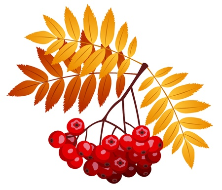 raceme: Rowan branch with rowanberries and leaves. Vector illustration.