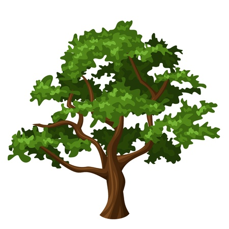 deciduous: Oak tree.  Illustration