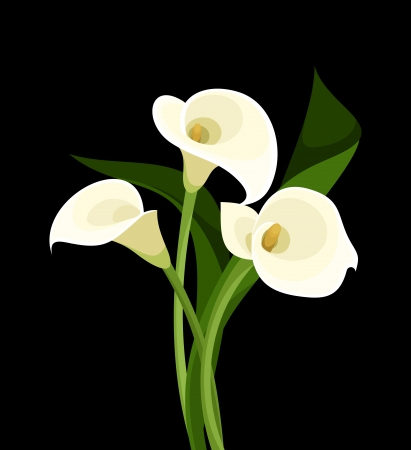 White calla lilies on black. Vector illustration.