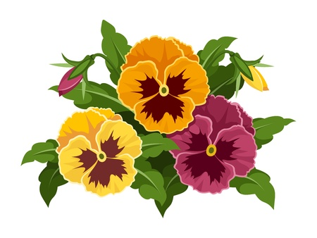 Pansy flowers  illustration  Vector