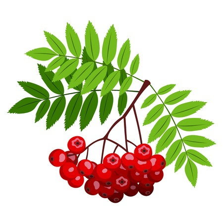 rowan: Rowan branch with berries and leaves   illustration  Illustration