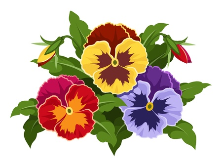 pansies: Colorful pansy flowers  Vector illustration