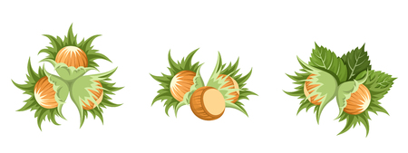 hazelnut: Hazelnut clusters  Vector illustration