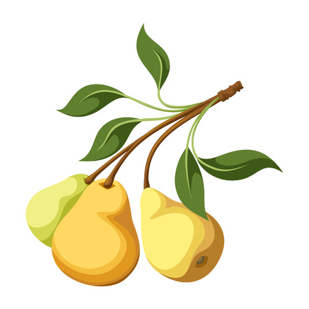 pear tree: Pears on a branch  Vector illustration
