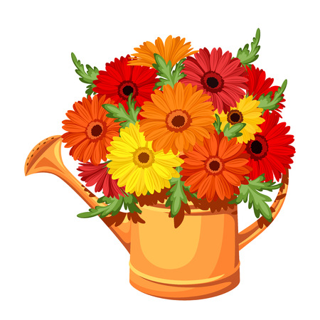watering garden: Bouquet of gerbera flowers in watering can  Vector illustration