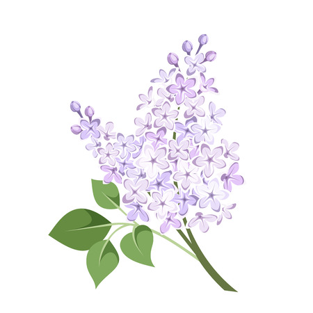 Branch of lilac flowers  Vector illustration