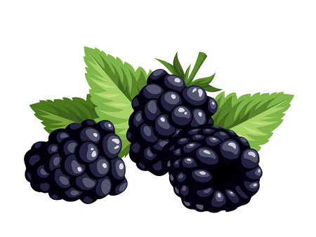 Blackberries isolated on a white background illustration  Vectores